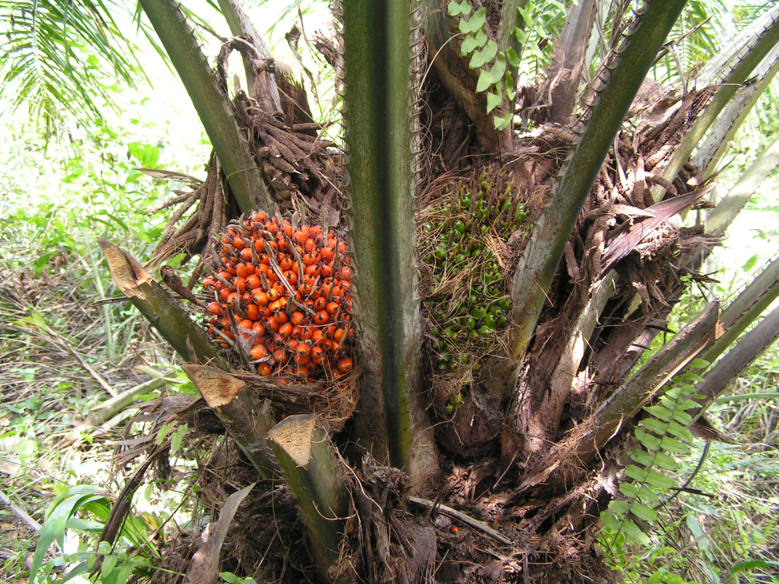 oil palm fruits on tree