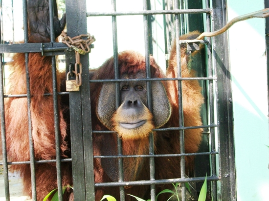 Male orangutan in Medan Zoo - (c) Chris Wiggs