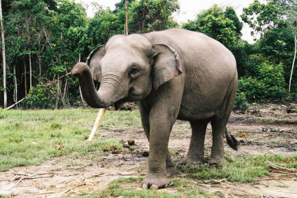 sumatranelephantecawatch